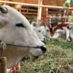 Cara beternak sapi dengan Keuntungan Tinggi