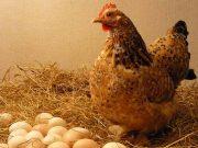 ayam-kampung