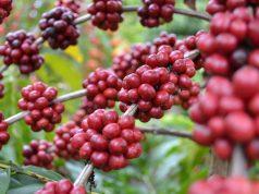 perkebunan kopi arabika siprok