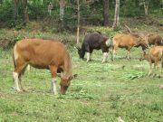 informasi sapi limosin hari ini