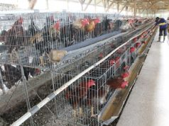 informasi harga ayam menjelang lebaran