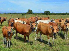 informasi ternak sapi