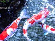 Pertumbuhan Ikan Koi