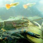 keuntungan bisnis lobster