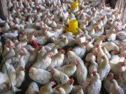 tips bisnis ayam petelur